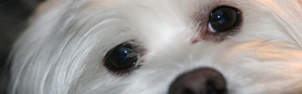 Close-up of White Dog