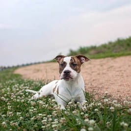 Dog in Clover Grass
